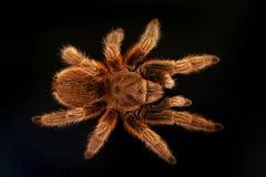Tarantula sur le noir Photographie stock libre de droits