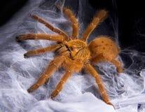 Tarantula sur le Web photographie stock libre de droits