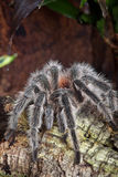 Tarantula in a terrarium Royalty Free Stock Image