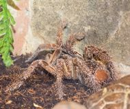 Tarantula in the terrarium. The tarantula is covered with droplets of water Stock Image