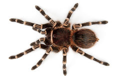 Tarantula top view stock photography