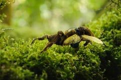 Tarantula- und Falkewespe Stockfotos