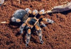 Tarantula vermelho mexicano do joelho foto de stock