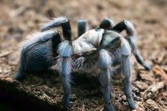 Tarantula w Grays fotografia stock
