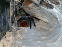 Tarantula w sieci Zdjęcie Royalty Free