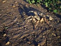 Tarantula w stepie Zdjęcia Royalty Free