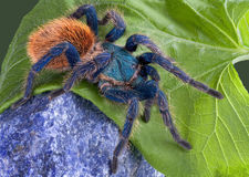 Tarantula walking over rock Royalty Free Stock Image