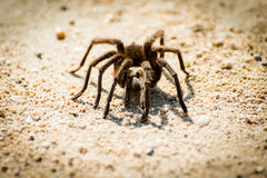 Tarantula walking on a road. Stock Images