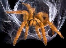 Tarantula in Web stock afbeelding