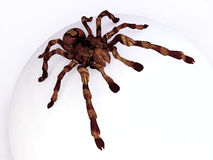 Tarantula on White Spherical Surface. In 3D Royalty Free Stock Photography