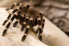 Tarantula Whitebanded Стоковые Изображения