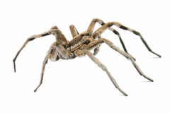 Tarantula wolf Royalty Free Stock Photo