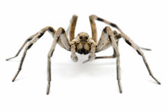 Tarantula Wolf Stock Photos