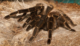 Tarantulas Stock Photography