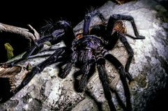Tarantulas, hairy arachnids Royalty Free Stock Photo
