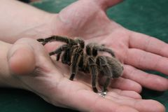Tarantula kept in human hands stock photography