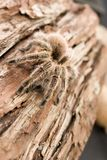 Tarantuli close-up Zdjęcia Royalty Free