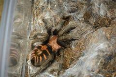 Tarantuli czekanie Fotografia Stock