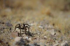 Tarantuli czołganie Zdjęcia Stock