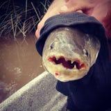 Tararira fish Royalty Free Stock Photo