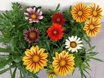 Tarasów kwiaty Zdjęcia Stock