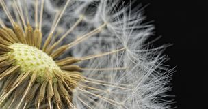 Tarasacum Officinale. Macro detail of a dandelion isolated on black background Royalty Free Stock Photos