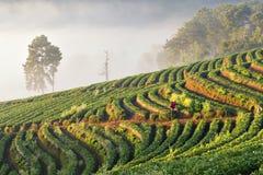 Tarasowa Truskawkowa plantacja z światłem słonecznym i ranek mgłą przy Angkhang górą, Chinagmai, Tajlandia Zdjęcia Royalty Free