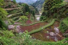 Tarasowaci ryż pola w południowo-zachodni Chiny, Guizhou prowincja, sprin Obraz Stock