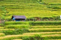 Tarasowaci ryż pola Obraz Royalty Free