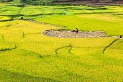 Tarasowaci ryż pola Fotografia Royalty Free