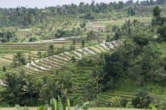 Tarasowaty Rice Śródpolny Organicznie uprawiać ziemię Obrazy Royalty Free