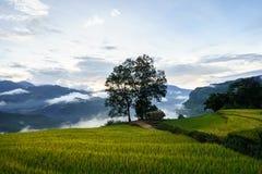 Tarasowaty ryżu pola krajobraz w zbierać sezon z dużym drzewem i niskimi chmurami w Y Ty, nietoperza Xat okręg, Lao Cai, północny Fotografia Royalty Free