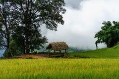 Tarasowaty ryżu pola krajobraz w zbierać sezon z dużym drzewem w Y Ty, nietoperza Xat okręg, Lao Cai, północny wietnam Fotografia Stock