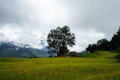 Tarasowaty ryżu pola krajobraz w zbierać sezon z dużym drzewem w Y Ty, nietoperza Xat okręg, Lao Cai, północny wietnam Zdjęcie Royalty Free