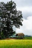 Tarasowaty ryżu pola krajobraz w zbierać sezon z dużym drzewem w Y Ty, nietoperza Xat okręg, Lao Cai, północny wietnam Obraz Royalty Free