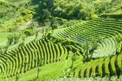 Tarasowaty ryżu pole na wzgórzu zdjęcie stock