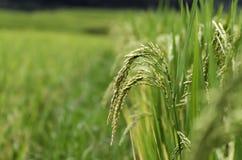 Tarasowaty ryżu pole w ryż przyprawia w Sapa, Wietnam zdjęcie stock