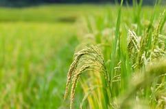 Tarasowaty ryżu pole w ryż przyprawia w Sapa, Wietnam zdjęcia royalty free