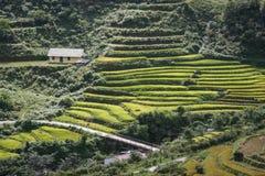 Tarasowi śródpolni ryż na żniwo sezonie Zdjęcia Stock