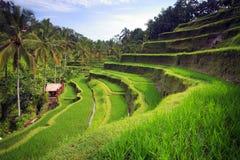 Tarasowi ryżowi pola, ubud Obraz Stock