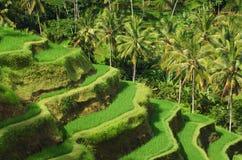 Tarasowi ryżowi pola, ubud Obrazy Royalty Free