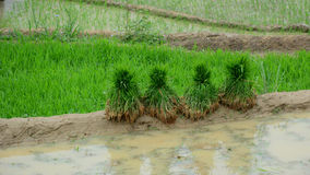 Tarasowy ryżu pole przy iryguje sezon zdjęcie royalty free
