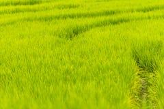 tarasujący śródpolni ryż Fotografia Royalty Free