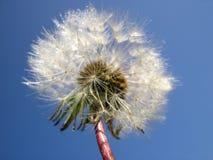 taraxacum δροσιάς πικραλίδων officinale Στοκ φωτογραφία με δικαίωμα ελεύθερης χρήσης