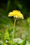 Taraxacum, желтое цветене одуванчика Стоковые Изображения