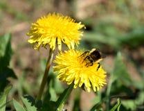 Taraxacum, желтое цветене одуванчика Стоковые Изображения RF