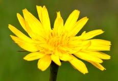Taraxacum, желтое цветене одуванчика Стоковое фото RF