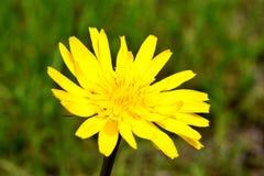 Taraxacum, желтое цветене одуванчика Стоковое Изображение RF