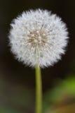 taraxacum секты ruderalia общего одуванчика лт Стоковое Изображение RF