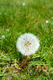 Taraxacum Stockfotos